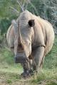 nosorožec tuponosý (bílý) 0003