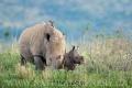 nosorožec tuponosý (bílý) 0012