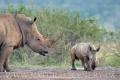 nosorožec tuponosý (bílý) 0015