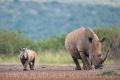 nosorožec tuponosý (bílý) 0014
