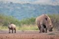 nosorožec tuponosý (bílý) 0013