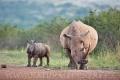 nosorožec tuponosý (bílý) 0016