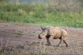 nosorožec tuponosý (bílý) 0018