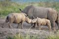 nosorožec tuponosý (bílý) 0017