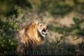 lev pustinný  0083