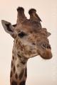 žirafa 0019