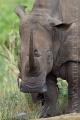 nosorožec tuponosý (bílý) 0004