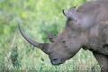 nosorožec tuponosý (bílý) 0005