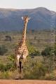 žirafa 0020