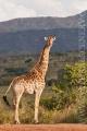 žirafa 0021