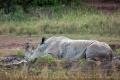 nosorožec tuponosý (bílý) 0006