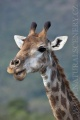 žirafa 0022