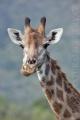 žirafa 0023