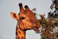 žirafa 0030