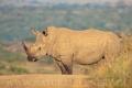nosorožec tuponosý (bílý) 0007