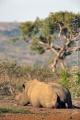 nosorožec tuponosý (bílý) 0008