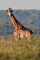 žirafa 0027