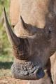 nosorožec tuponosý (bílý) 0010