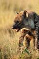hyena skvrnitá 0010