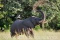 slon africký 0045