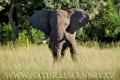 slon africký 0046