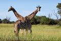 žirafa 0013