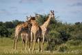 žirafa 0014