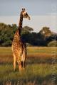 žirafa 0015