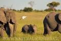 slon africký 0048