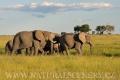 slon africký 0047