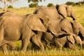 slon africký 0049