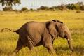 slon africký 0050