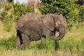 slon africký 0054