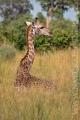 žirafa 0016