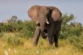 slon africký 0056