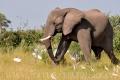 slon africký 0057