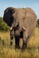 slon africký 0059