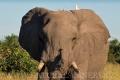 slon africký 0060