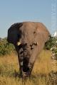 slon africký 0061