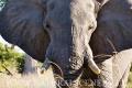 slon africký 0062