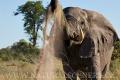 slon africký 0063