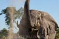 slon africký 0064