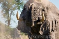 slon africký 0065