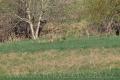 liška obecná 0001
