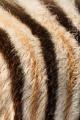 zebra stepní 0028