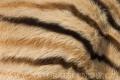 zebra stepní 0029