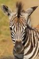 zebra stepní 0030
