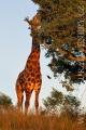žirafa 0028