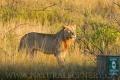 lev pustinný  0080