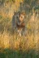 lev pustinný  0079